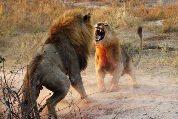 壁纸 动物 狮子 桌面 600_401