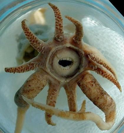 七大最怪异海洋生物 诡异鱿鱼长人类牙齿