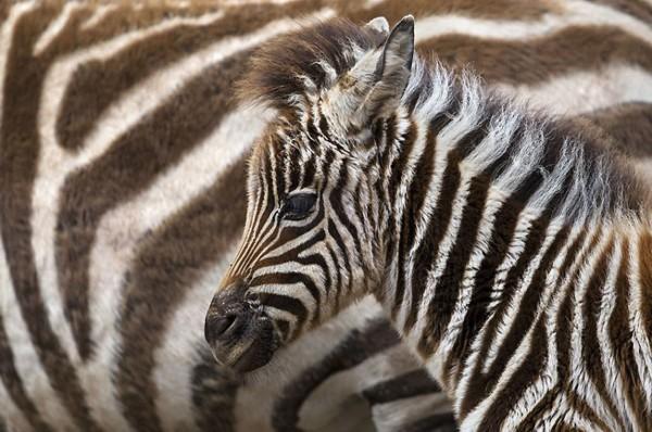 动物家庭超甜蜜亲子照:小憩的河马一家三口图片