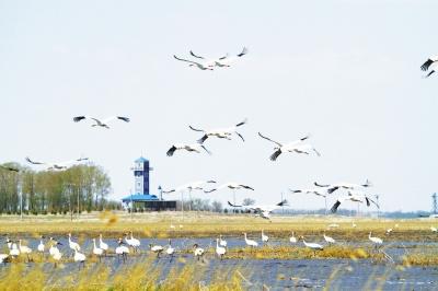 大批白鹤栖息吉林莫莫格自然保护区(图)
