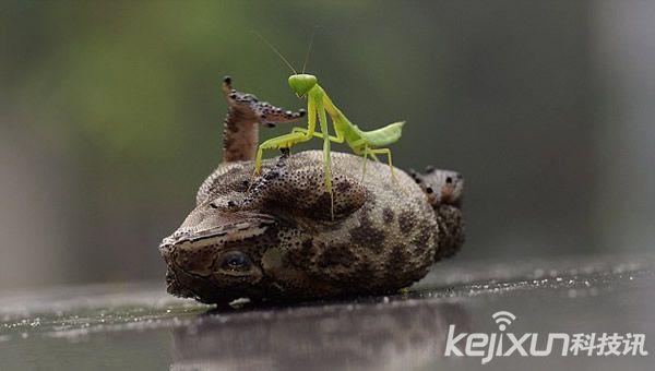 """螳螂为蟾蜍""""挠痒""""瞬间"""