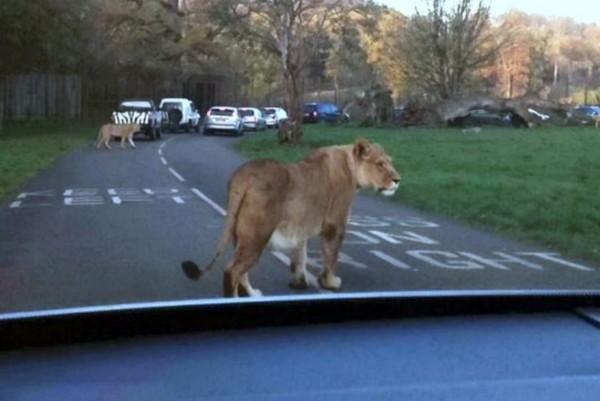 图集详情:   【环球网综合报道】据英国《每日邮报》11月27日报道,英国一位保险代理人雪莉佩因特(Shirley Painter)带领全家到维尔特郡的朗利特野生动物园游玩时,意外遭遇一头恋上她的车的母狮。雄健的母狮先是一路追随汽车狂奔,随后张开大嘴尝起了后视镜。   现年26岁的佩因特夫人来自英国布里斯托尔,当天她坐在副驾驶座上,距离母狮只有几英寸。雪莉说:汽车穿过狮群时,我从后视镜中看到一头狮子顺着车行驶的方向来了,随后它咬起了汽车的后视镜。幸运的是,母狮在尝够了镜子后,松开嘴返