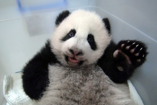 这是10月30日在台北市动物园拍摄的大熊猫宝宝