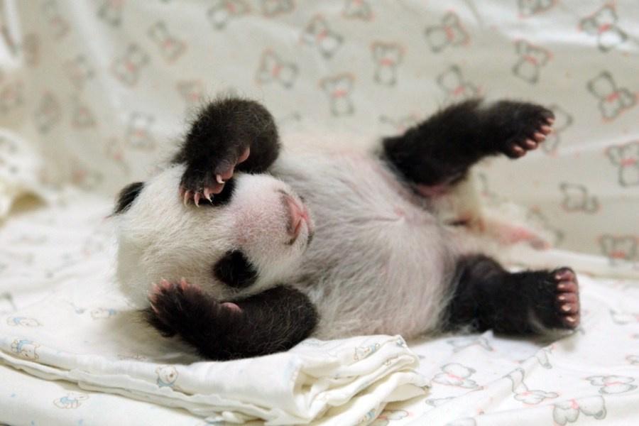 """这是8月8日在台北市动物园拍摄的在睡梦中的大熊猫宝宝""""圆仔""""。新华社发(台北市动物园 提供) 近日,大陆赠台大熊猫""""圆仔""""被当地媒体评为""""台湾十大新闻人物""""之一,并且是20个知名新闻人物中唯一的""""非人类""""。2013年7月6日,大陆赠台大熊猫""""团团""""""""圆圆""""的首只幼崽在台北市动物园出生,因其圆滚滚的可爱体态而被人们命名为""""圆仔""""。大熊猫宝宝"""