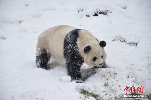 12月16日,云南野生动物园的大熊猫在雪地里撒欢.中新社发李丽摄
