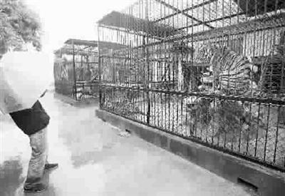 笼中的老虎图片