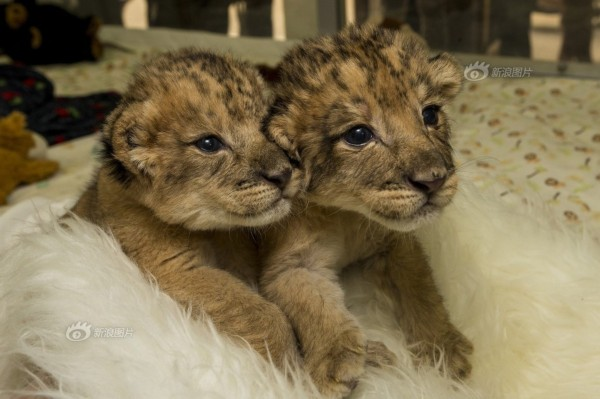 2013年12月16日,一对刚出生10天的龙凤胎小狮子在美国加利福尼亚州