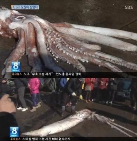 韩国惊现4.5米巨型鱿鱼 引市民围观