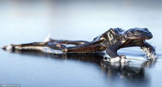 小青蛙不冬眠 跨越冰湖寻偶不幸被冻死