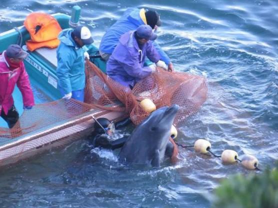 捕鸽子陷阱大全带图-日本 海豚湾 再次举行大规模捕猎活动图片