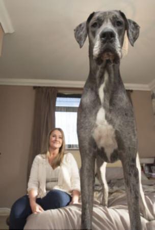 英宠物狗身高1米仍在长或刷新纪录