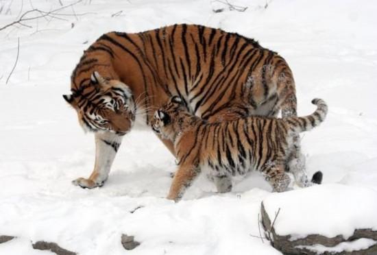鳄鱼体重近1000公斤/图   猫科动物目前存活的最大成员就是东北虎