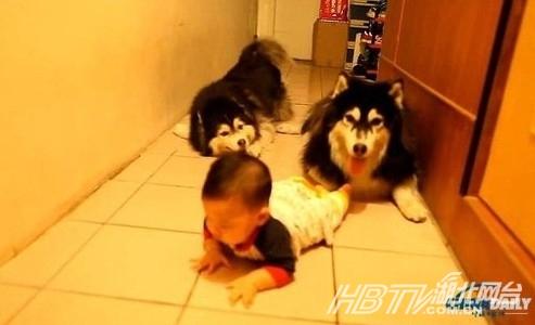 动物 搞笑 盘点/哈士奇模仿婴儿爬行盘点动物搞笑瞬间(组图)
