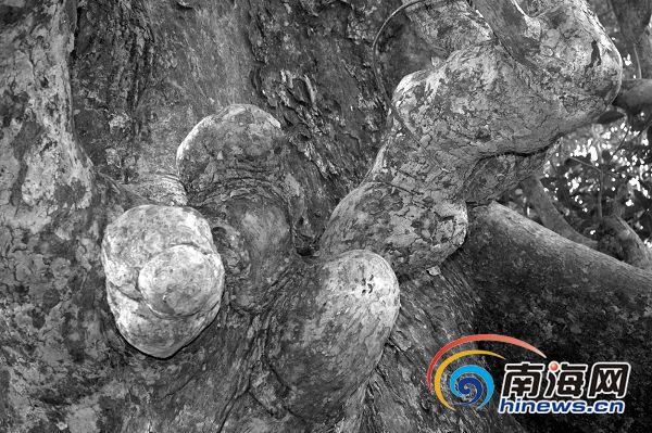 琼海古树长出奇怪树瘤 形似蜥蜴秃鹫等五种动物