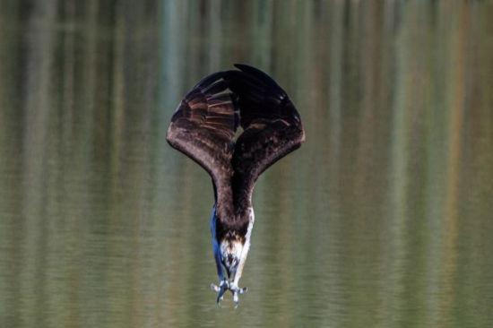 鱼鹰变身飞镖高速俯冲捕捉水中鱼
