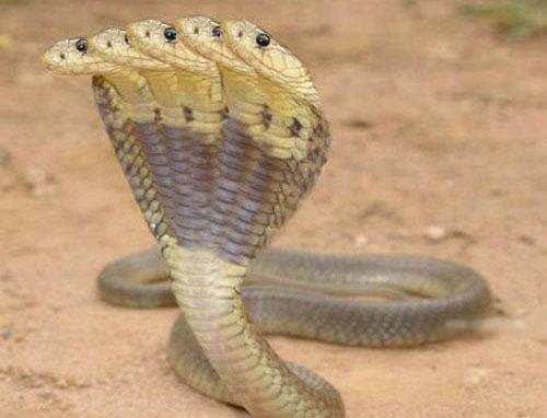 世界/印度神庙惊现五头蛇举世罕见盘点令人开眼界的动物(组图)