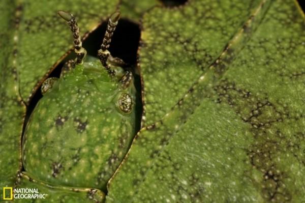 昆虫伪装大师:枯叶螳螂似地面落叶(图)