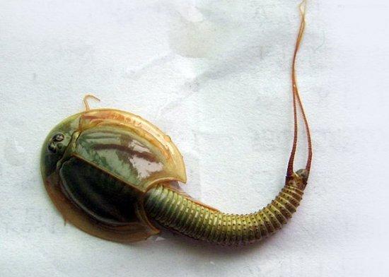 世界最罕见动物盘点:三眼恐龙虾 印尼章鱼人