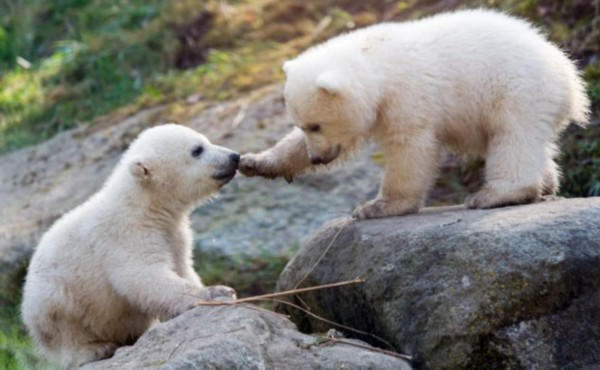 在德国德国慕尼黑海拉布伦动物园(hellabrunn zoo)出生的双胞胎北极熊