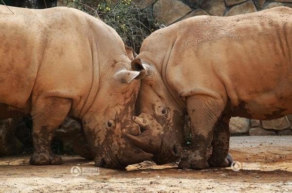 3月29日,长沙生态动物园,两头犀牛用角相互抵着对方.