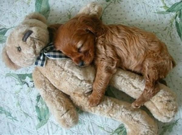 【环球网综合报道】有些人认为睡觉时候抱着玩偶、枕头会很有安全感,不止是我们人类,就连宠物狗狗睡觉也喜欢抱着玩偶呢。俄罗斯大图网刊登的这组图片就是各式各样可爱的幼犬睡觉的照片,它们抱着玩偶酣睡的样子真是萌极了!   可爱幼犬抱玩偶酣睡萌照【高清组图】   我有话说