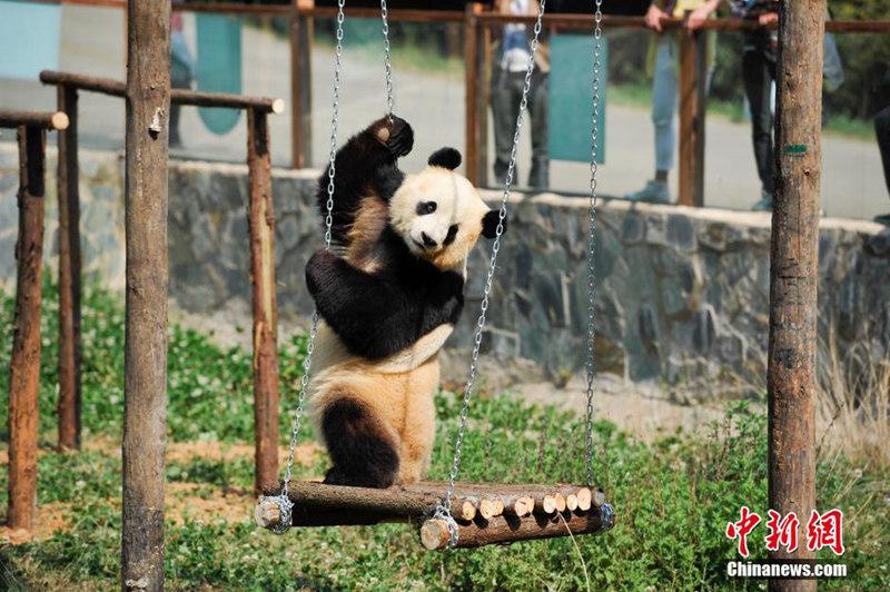 云南野生动物园为情绪低落熊猫装电视[组图]