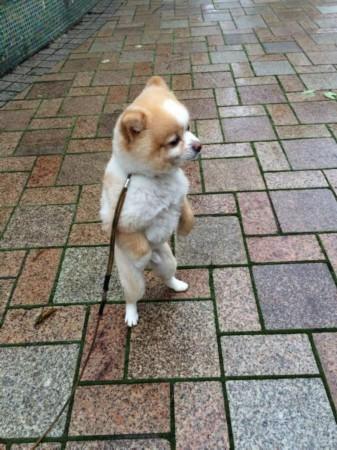 直立行走的狗网络走红 颤抖吧人类!