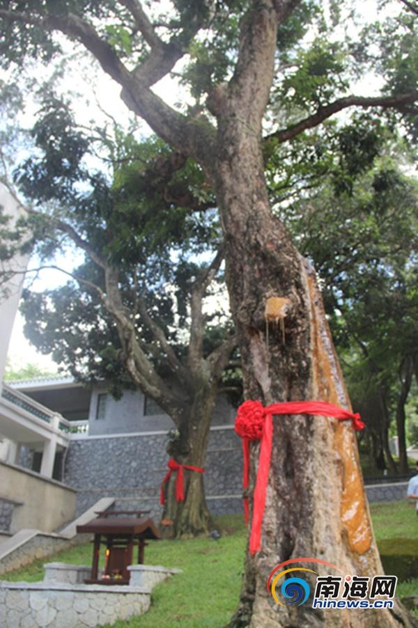 图为百年老荔枝树(南海网记者 王威摄)