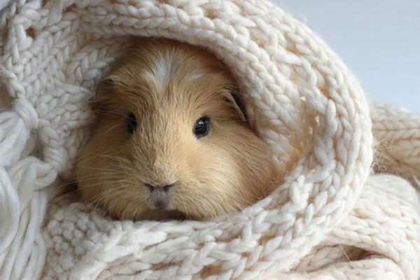 动物摄影:荷兰猪时尚大片