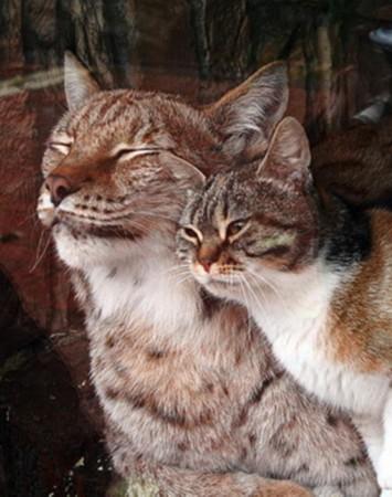 猫咪闯动物园与猞猁成好友 同吃睡场面温馨(图)