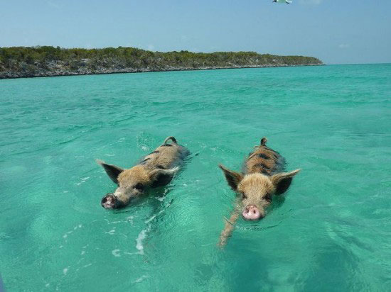 游泳猪每天吃饭睡觉游泳 因水手没吃完过着幸福的生活