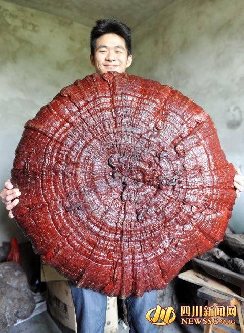 四川现巨型灵芝大如伞盖 专家:野外棺木是巨型灵芝主要生长地