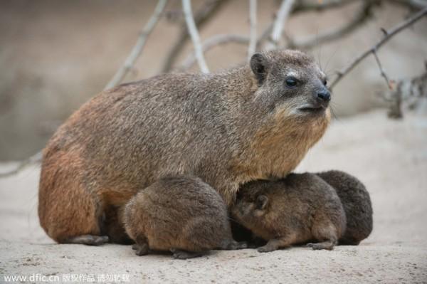 英动物园诞生蹄兔宝宝:与大象海牛起源共同祖先