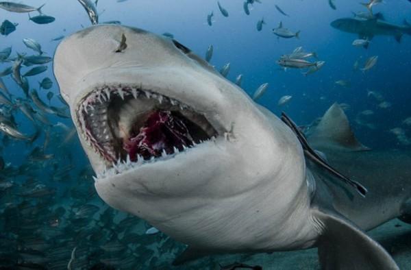 动物的鲨鱼牙齿