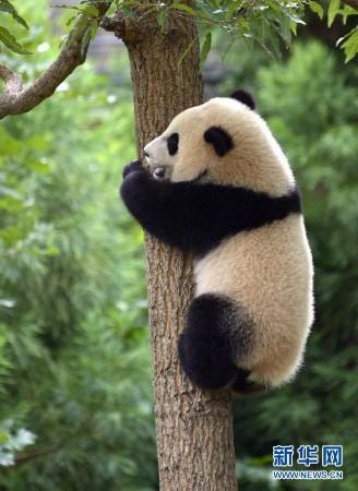 """华盛顿国家动物园庆祝大熊猫""""宝宝""""一周岁"""