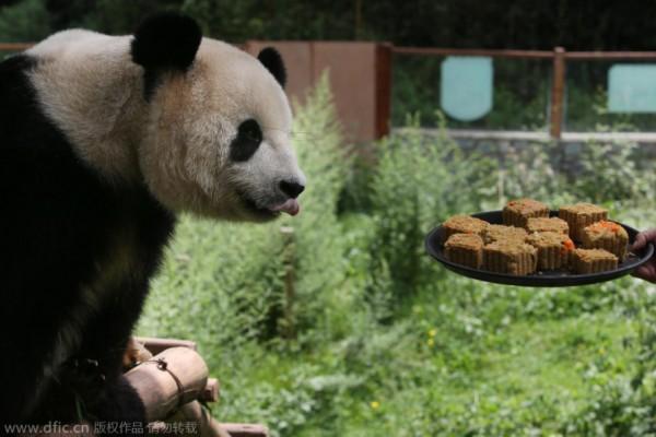 """昆明野生动物过中秋:大熊猫吃月饼""""上瘾"""""""
