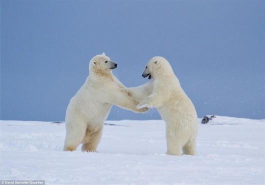 """镜头里的北极熊:冰上起舞 朝相机""""挥手"""""""