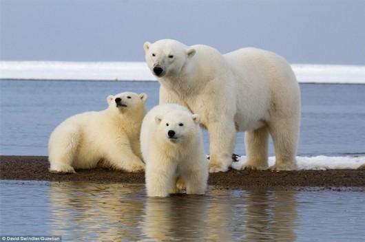 """新闻里的北极熊:冰上起舞朝镜头""""挥手""""-相机中心-皮肤贴粘婴儿蚊子怎么去除图片"""