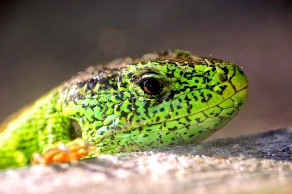 险些灭绝的爬行和两栖动物:科莫多巨蜥可达3米
