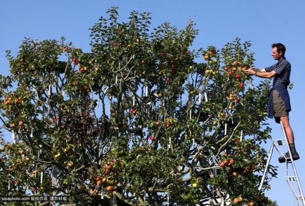 英男子培育神奇果树 一棵结出250种苹果(组图)__海南