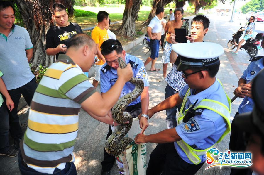 三亚/10月8日,众人将蟒蛇装进编织袋。(三亚新闻网记者沙晓峰摄)...
