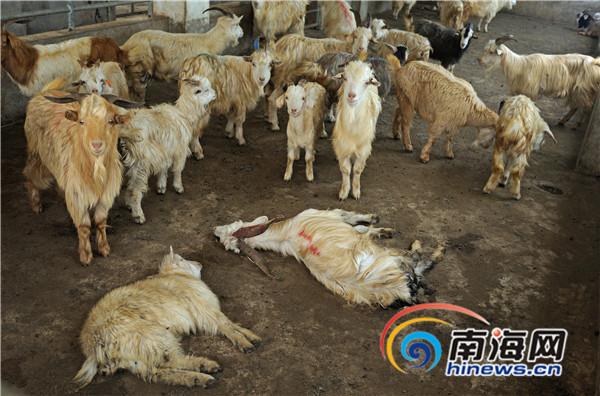 海口130多只未检疫羊失踪刑警大队介入调查