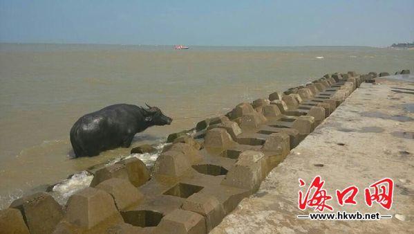 <b>海口假日海滩发现数头死牛或与船只沉没有关</b>