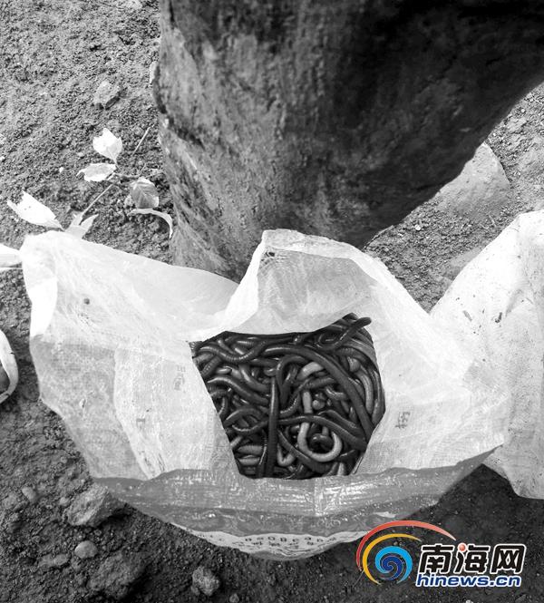 文昌公路旁暗藏蚯蚓收购点称一个月要一千斤也能收到