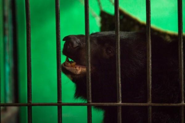 探访柬埔寨野生动物救助中心 熊的安全港湾
