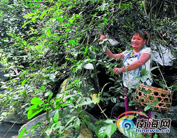 <b>保亭野生鹧鸪茶名声大了农户家庭年采茶收入达5万元</b>
