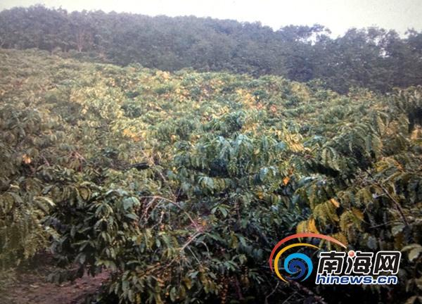 白沙30多万斤咖啡豆无人买咖啡农苦寻买家