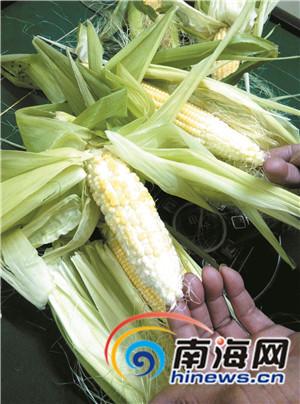 东方500亩玉米欠收损失上百万元农户疑种子有问题