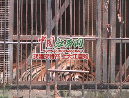 江西宜春动物园老虎咬死饲养员 网友:是饿的