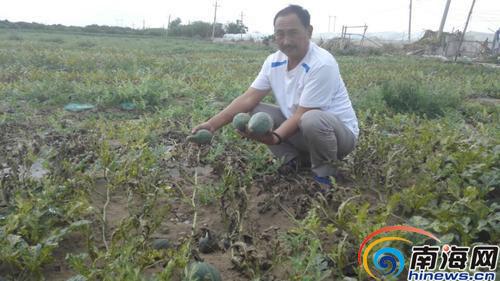 乐东瓜农遭假农药坑害97亩西瓜绝收职能部门调查